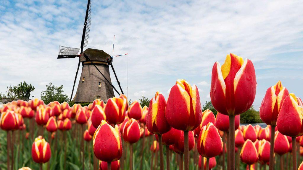 Tulipa Holanda